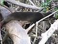 Zalophus californianus wollebacki 1zz.jpg