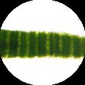 Zea mays leaf Kranz anatomy longitudinal 200×.png