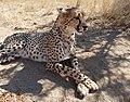 Zena, 3 years old female Cheetah (Acinonyx jubatus) ... (45202462415).jpg