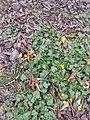 Ziarnopłon wiosenny w zabytkowym Parku Źródliska.jpg