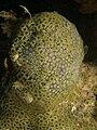 Zoanthus pulchellus (Mat Zoanthids).jpg