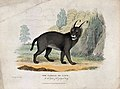 Zoological Society of London; a lynx. Coloured etching by W. Wellcome V0023111.jpg