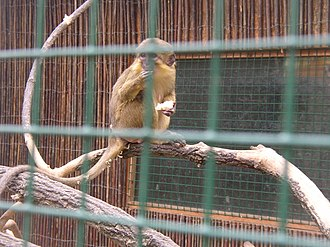 Gabon talapoin - Gabon talapoin in the Zoopark Zájezd, Czech Republic