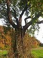 Zwetschgenbaum von Othmarsingen 3.jpg