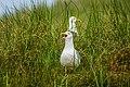 """""""Hechelnde"""" Silbermöwe (larus argentatus) - Spiekeroog, Nationalpark niedersächsisches Wattenmeer.jpg"""