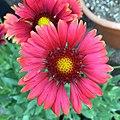 'Arizona Red Shades' Gaillardia IMG-8448.jpg