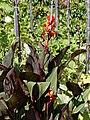 'Cannaceae' Canna (genus) in Victorian garden Quex House Birchington Kent England 3.jpg