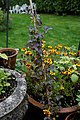 'Clematis Piilu' hybrid in Nuthurst West Sussex England.jpg