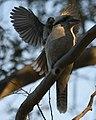 (1)Kookaburra 005.jpg