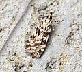 (1333) Scoparia pyralella - Flickr - Bennyboymothman.jpg