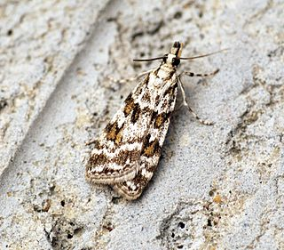 <i>Scoparia</i> (moth) genus of insects