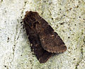(2302) Brown Rustic (Rusina ferruginea) (7285071674).jpg