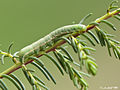 (Lepidoptera Noctuidae) ( ???) (5510091988).jpg
