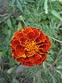(Tagetes patula) hybrid marigold at Bhadrachalam 03.JPG