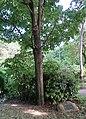 Érable à sucre, jardin de la Nouvelle-France, Paris 8e 1.jpg