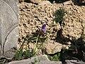 Ίρις και άλλα φυτά στον αρχαιολογικό χώρο.jpg