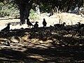 Δεκάδες Καρακάξες στην παραλία του Αγίου Δημητρίου.jpg
