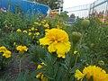 Бархатцы желтые карликовые.jpg