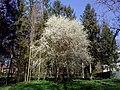 Весна в парку ХІХ ст. в м. Пустомити.jpg