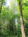 Высоченные вековые деревья.jpg