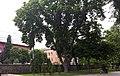 Вікові дерева на вул. Володимирській.jpg