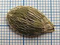 Гарбуз звичайний голонасінний сорт Маслянка - Насінина.jpg