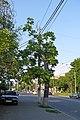 Горіх Зібольда навпроти будинку №128 по вул. Пирогова P1390909.jpg