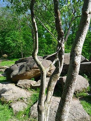 Дерево в Софиевском парке.JPG