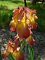 Колекція ірісів в ботанічному саду ТНУ 03.jpg