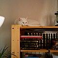 Кошка с гетерохромией.jpg