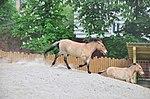 Кінь Пржевальського у Київському зоопарку. Фото 2.jpg