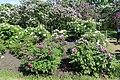 Національний ботанічний сад ім. М.Гришка Півонія деревовидна 03.jpg