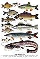 Рыбы Великого Луга.jpg