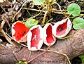 Саркосцифа яскраво-червона в межах Чорноліського ландшафтного заказнику.jpg