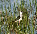 Ходулочник - Himantopus himantopus - Black-winged stilt (Common stilt, Pied stilt) - Кокилобегач - Stelzenläufer (33748603340).jpg