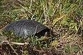 Черепаха болотяна - мешканець пониззя Дністра.jpg