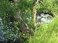 Щекино, дерево у пруда 2 (6839019112).jpg