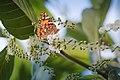فراشة على على ازهار شجرة البيلسان.jpg