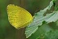 சின்ன மஞ்சள் புல்வெளியாள் - Small grass yellow - Eurema brigitta.jpg