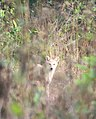 കുറുനരി,Golden Jackal or Indian Jackal, canis aureus indicus , jackal in white colour.jpg