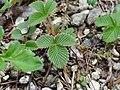 シロバナノヘビイチゴ(白花の蛇苺)(Fragaria nipponica)-葉 (5844568703).jpg