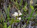 ミツガシワ(三槲)(Menyanthes trifoliata)-花 (5847105216).jpg
