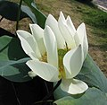 佛手蓮 Nelumbo nucifera 'Buddha Fingers' -深圳洪湖公園 Shenzhen Honghu Park, China- (14411259632).jpg