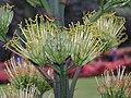 劍麻(瓊麻) Agave sisalana -香港動植物公園 Hong Kong Botanical Garden- (9213309795).jpg