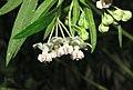 唐棉 Asclepias fruticosa -香港公園 Hong Kong Park- (9229859274).jpg