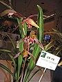 報歲黃道 Cymbidium sinense -香港沙田洋蘭展 Shatin Orchid Show, Hong Kong- (12284707914).jpg