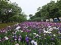 大村公園の花菖蒲その2 - panoramio.jpg