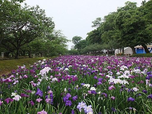 大村公園の花菖蒲その2 - panoramio