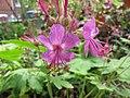 大根老鸛草 Geranium macrorrhizum Velebit -比利時 Leuven Botanical Garden, Belgium- (9198129213).jpg