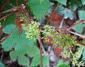 山葡萄 Vitis amurensis -維也納高山植物園 Belvedere Alpine Garden, Vienna- (29125489785).jpg